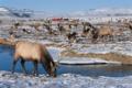 Elk and Flat Creek