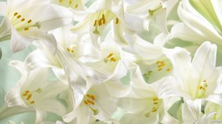 Easter-lilies_00359846