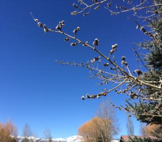 Budding Aspen 2015