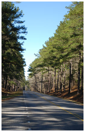 NT Pine Trees