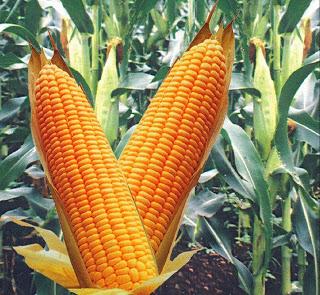 Corn2-772281