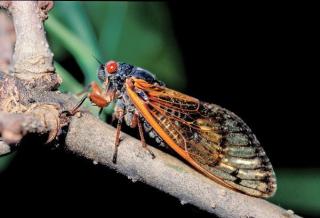 Cicada5