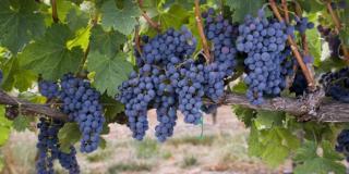 Grapes-on-Vine-660x330